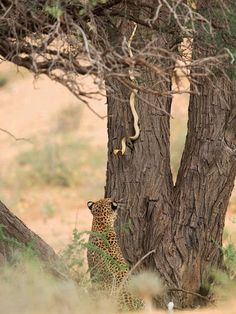 """The Leopard ~ And The Serpent: """"Face Off."""" (Photo By: Hannes Lochner.)"""