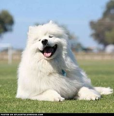 Beautiful Samoyed
