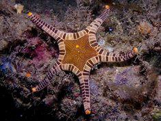 Starfish / Urchin : Double Starfish
