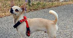 The Dog Geek: Product Review: Yuppie Puppy Simple Harness
