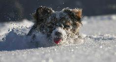 Ninguém Se Diverte Tanto Com a Neve Como Estes Cães