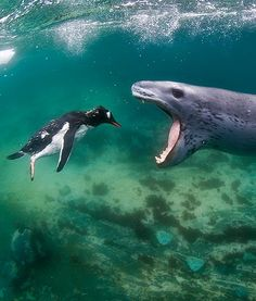 """oh this pic.  The penguin is all 'I'll just hold still while you eat me whole"""".  lol  I shouldn't laugh, because Leopard Seals are actually terrifying."""