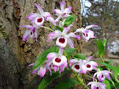 orquidea comum - Google Search