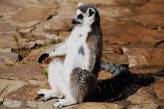 A Sun-Basking Ring-Tailed Lemur This ring-tailed lemur may look like it's living the life of Zen, but the species is critically endangered. Wildlife refuges such as Qingdao Forest Wildlife World in China and protected areas back on the species' home island of Madagascar are key to its survival. One …