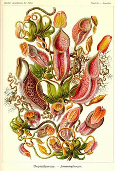Ernst Haeckel Here's one from the history books. Ernst Haeckel was a German of… Botanical Art Prints, Botanical Poster, Botanical Art, Science Illustration, Nature Illustration, Botanical Illustration, Natural Form Art, Nature Drawing, Art