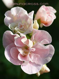 Pelargonie - Pelargonium - Pelargoner - Geranium Pensby