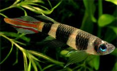 Epiplatys annulatus - Clown Killifish