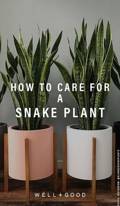 Here's exactly how to care for your new snake plant, according to someone with a green thumb – Verde – eplant Peperomia Plant, Pothos Plant, Plant Cuttings, Snake Plant Propagation, Kitchen Plants, Bathroom Plants, Balcony Plants, Indoor Plants, Potted Plants