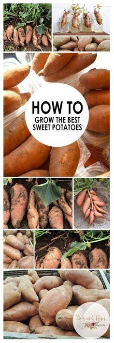 How to Grow Sweet Potatoes. Growing Vegetables in Pots. How to Grow Vegetables in Pots. How to Grow Sweet Potatoes in Containers. Vegetable Gardening Tips. Growing Vegetables In Pots, Container Gardening Vegetables, Growing Tomatoes, Growing Plants, Fruits And Veggies, Vegetable Gardening, Garden Container, Veggie Gardens, Grow Potatoes In Container