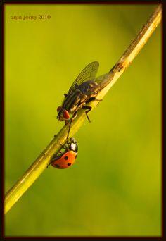 LadybirdandFly
