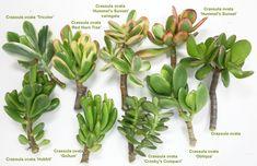 Crassula Ovata, Plante Crassula, Crassula Succulent, Sempervivum, Succulent Gardening, Cacti And Succulents, Planting Succulents, Cactus Plants, Home Garden Plants