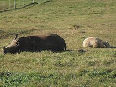 Clint The White Rhino & Harry The Sheep -- nap time