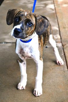Adopt Mikey on Boxer mix, Dog and Animal