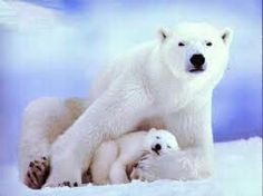 The polar bear has become the poster animal for the devastating changes global warming is bringing to the Arctic. Polar bears are dying because their Save The Polar Bears, Baby Polar Bears, Cute Polar Bear, Cubs Pictures, Animal Pictures, Animals Photos, Random Pictures, Polar Bears Endangered, Endangered Species
