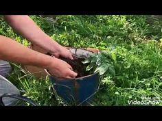 Azi vă arăt cum să semănăm semințele de morcov într-un strat, ajutându-ne de niște banale blăni vechi ( scânduri vechi) Thing 1, Organic Fertilizer, Planting Seeds, Youtube, Gardening, Sun, Agriculture, Plant, Lawn And Garden