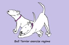 Bull terrier exercise regime must include plenty of warming up, and perhaps a little yoga stretching!