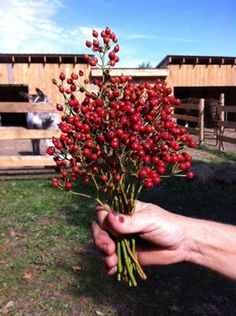 Rose Hips - The Branch Ranch