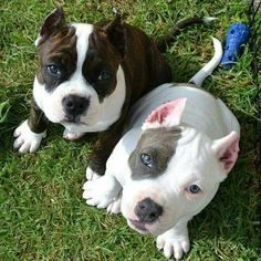 Hate cropped ears, but these babies are adorable