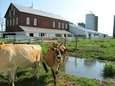 young's jersey dairy....