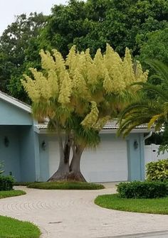 19 Best Ponytail Plant images   Ponytail plant, Succulents, Indoor Ponytail Palm Indoor House Plant Html on indoor pony tail plant, corn house plant, indoor palms low light, wicker basket with silk areca palm plant, ponytail bonsai plant, elephant foot house plant,