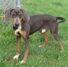 Amherst, VA: 51 lb. M Black & Tan Coonhound mix pup named Justin @ Humane Society of Amherst County