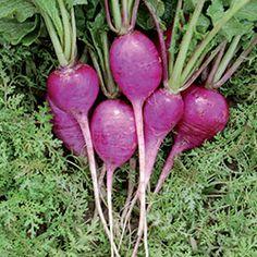 Radish, Plum Purple (Raphanus sativus) Released by the Alf Christianson Seed Company, 1985. Unique deep purple round roots. F...