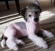 chinese crested dog puppy Tristan