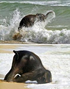 Baby elephant at the beach. **dying from the cuteness**