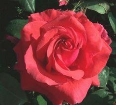 """Rosa """"Fragrant Cloud"""""""