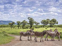 Plains zebra in Kruger National park, South Africa Kruger National Park, National Parks, National Botanical Gardens, Honeymoon Spots, Go Game, Book Cheap Flights, Bus Travel, Prehistoric Creatures, Game Reserve