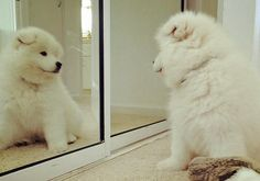 Ludo the Samoyed  puppy - too cute