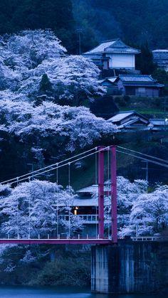 japan, bridge, sakura, night