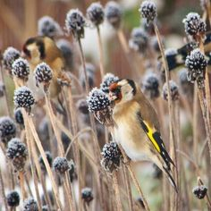 European goldfinch-----oh, we saw this guy and didn't know what it was.  now I do.  Thank you, Kitty.:)