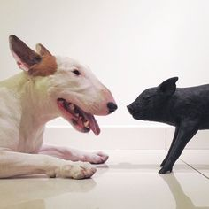 El perrito Cochinito  Jimmy Choo the bull terrier instagram.com/rafaelmantesso
