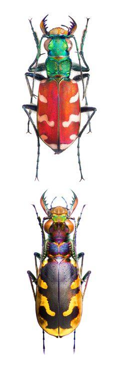Cicindela coerulea nitida