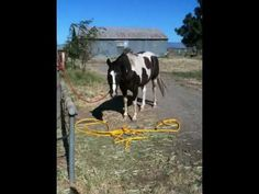 Sacking out Spooky Horse Scared of a hose, rearing and breaking free Part 1 - Rick Gore - YouTube