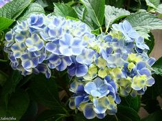 I must have this hydrangea. Exactly what kind are you??  : )