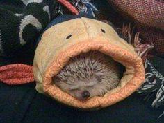 I've always wanted a hedgehog :(.