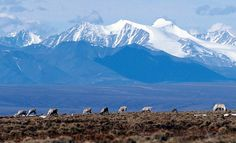 A file photo shows caribou grazing in the Arctic National Wildlife Refuge in Alaska. Description from vagazette.com. I searched for this on bing.com/images