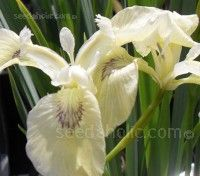 Iris 'Clotted Cream' is a rare and lovely, palest buttermilk form that has exquisitely marked and veined petals.