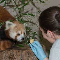 Rusty the Red Panda Climbed Out Using Water-Logged Trees