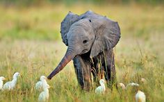 sometimes, i cant help but think that i am this elephant. and all these birds are my friends. i am far superior to my friends