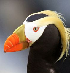 Tufted Puffin, Alaska, by Jesse Fagan