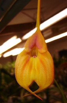 Masdevallia Fire Queen orchid Blooming Size The Orchid Gallery  Easy to grow Flowers 2 or 3 times a year Lovely, triangular flowers Orange flowers
