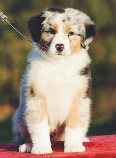 Aussie Australian Shepherd Puppy blue merle dogs #dogoftheday