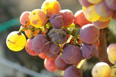 Bordeaux Süßwein Edelfäule #Bordeaux #Süßwein #Weinbau #Rebsorte