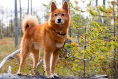 Finnish Spitz dog breed information with pictures. Description of Finnish Spitz. Interesting facts and breed history. Rare Dogs, Rare Dog Breeds, Dog Breeds List, Cute Dogs Breeds, Spitz Dog Breeds, Spitz Dogs, Australian Shepherds, West Yorkshire, Dog Breeds Pictures