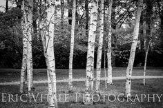 The Birches--Fine Art photo. $35.00, via Etsy.