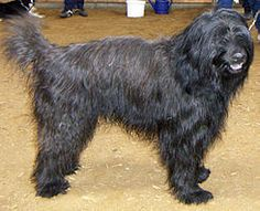 El pastor catalán ( gos d'atura català) es una raza de perro propia de Cataluña. Es un perro pastor que se utilizaba sobre todo para vigilar los rebaños durante el día a la zona de los Pirineos y a la zona ocupada por la trashumancia relacionada con esta zona.