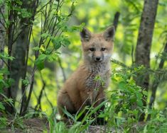 Red Fox Cub by Cindy K. - National Geographic Your Shot